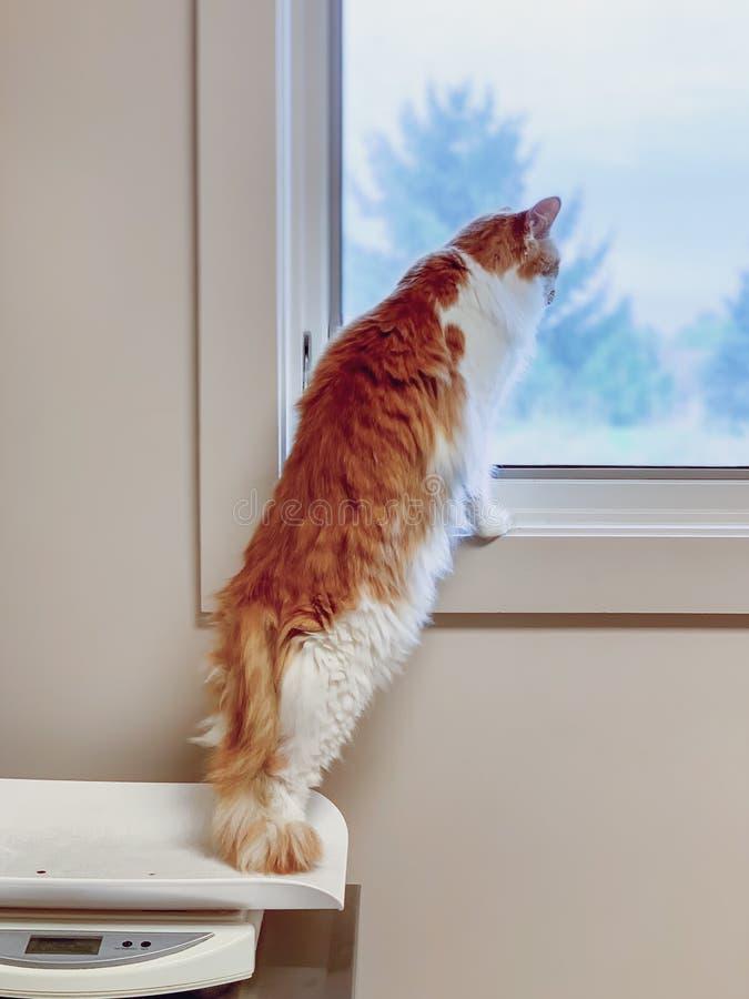 Kat dat op achterpoten staat, terwijl de veearts uit het raam kijkt stock fotografie