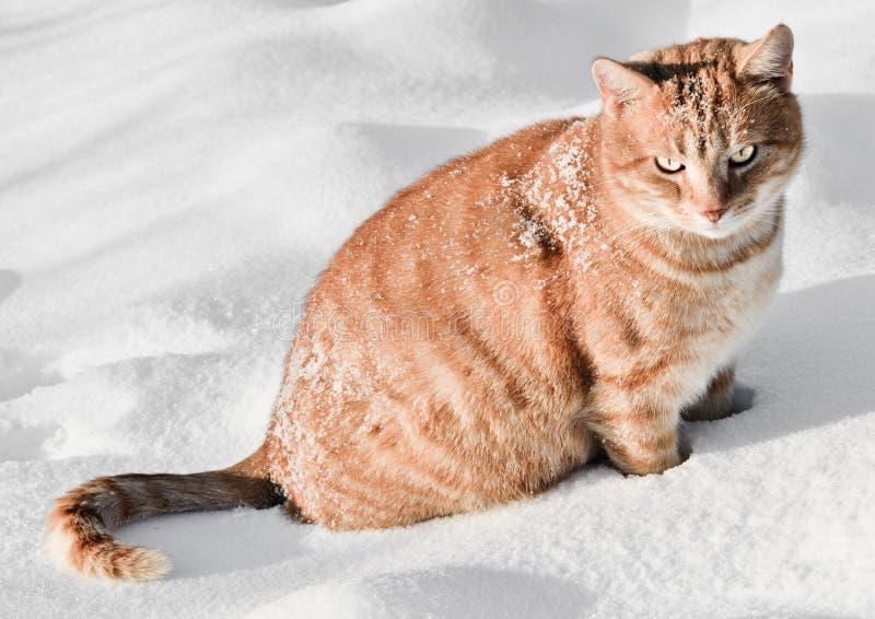 Kat in de sneeuw royalty-vrije stock afbeelding