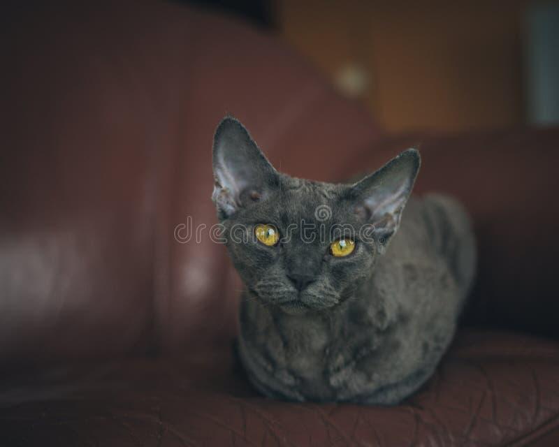 Kat - Devon Rex stock foto