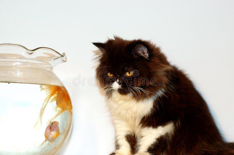 Kat Die Gouden Vissen Bekijkt Royalty-vrije Stock Afbeeldingen
