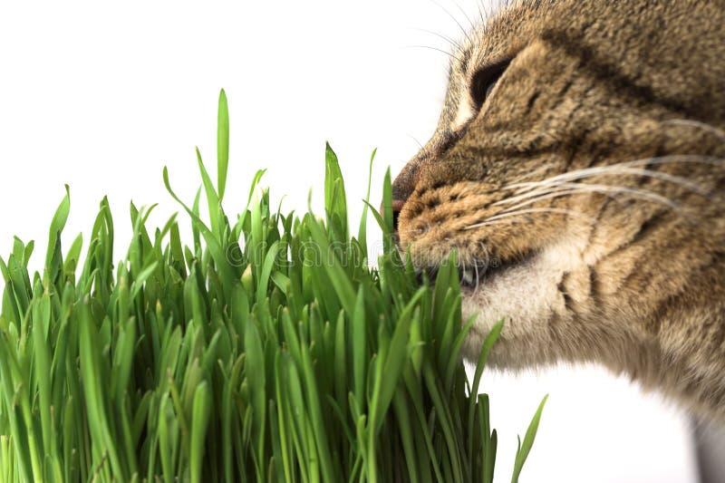 Kat die gras eet stock foto's