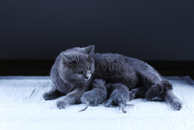 Kat die haar nieuw voeden - geboren katjes, zwarte achtergrond royalty-vrije stock foto