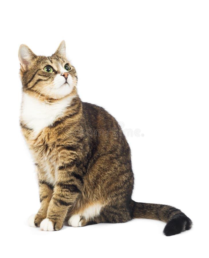 Kat die omhoog eruit ziet. De ruimte van het exemplaar. Geïsoleerdu stock fotografie