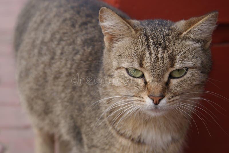 Kat die op de straat lopen royalty-vrije stock afbeelding