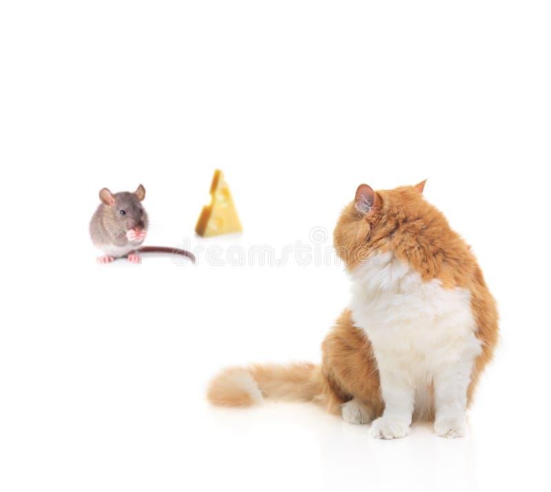 Kat die op een muis let knagend aan één of andere kaas stock afbeelding