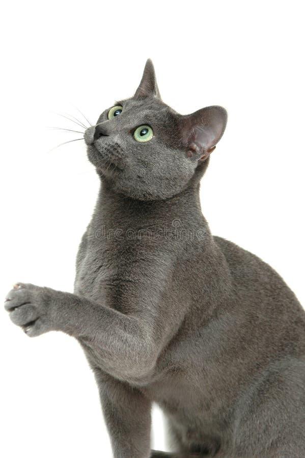 Kat die op wit wordt geïsoleerdf stock foto's