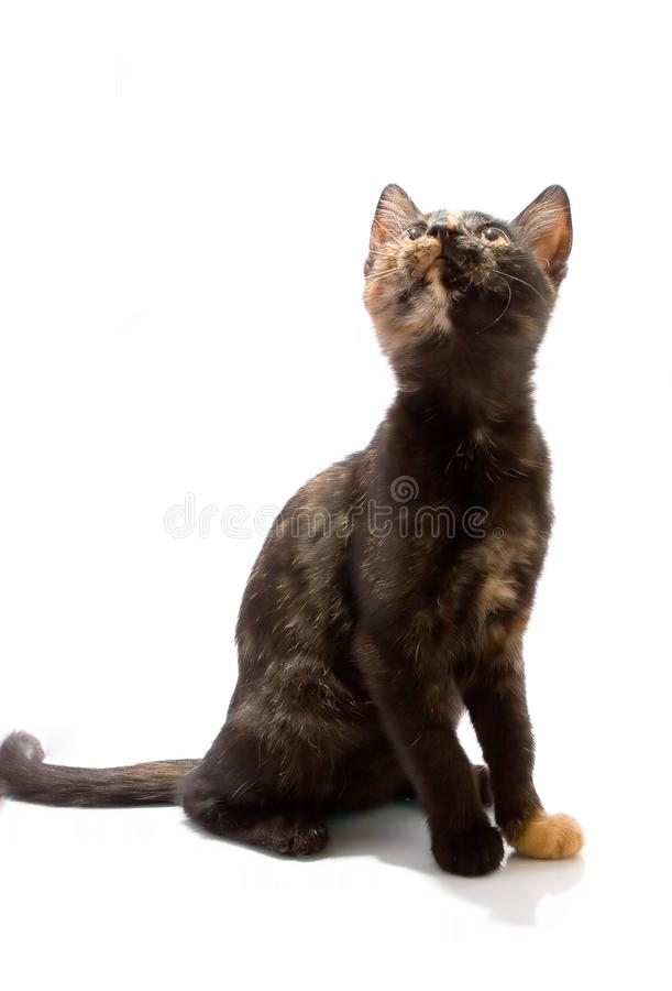Kat op wit wordt geïsoleerd dat stock fotografie