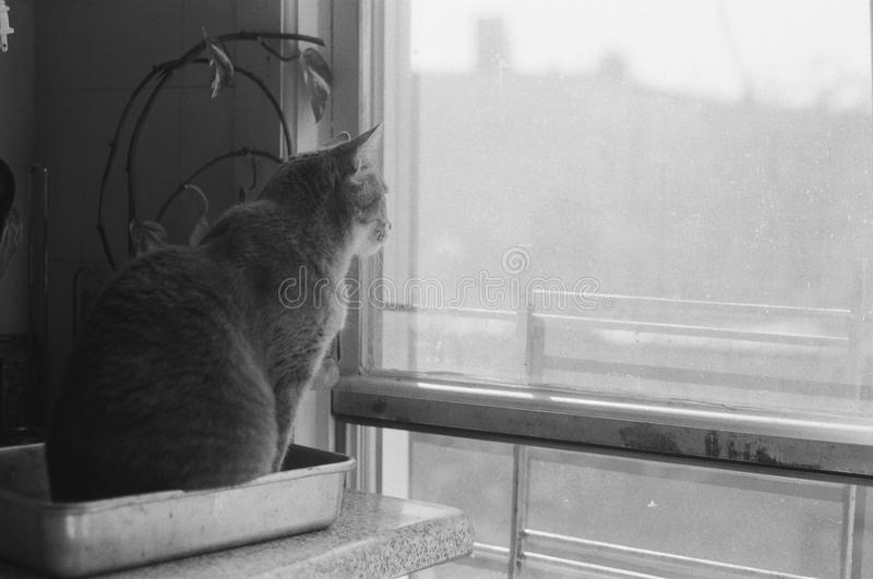 Kat die uit venster kijkt royalty-vrije stock foto