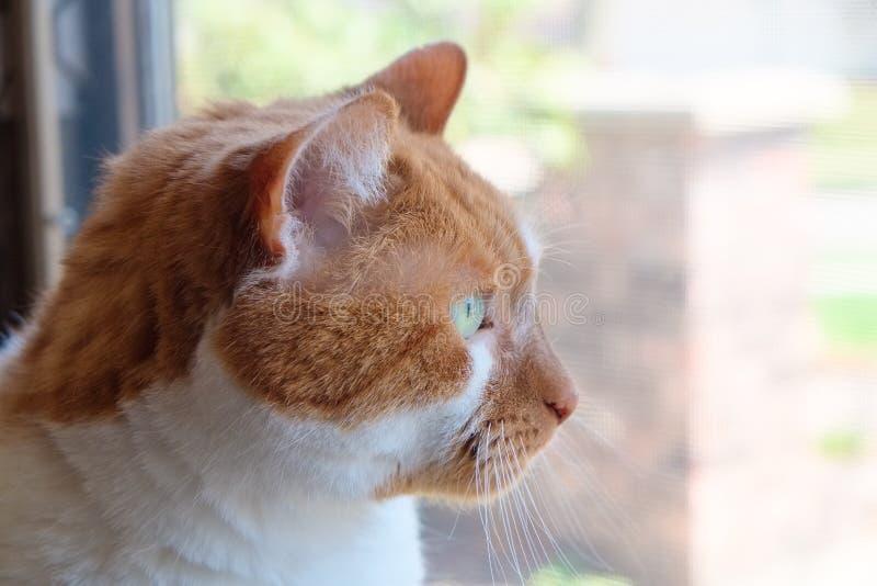 Kat die uit Venster staren stock afbeelding