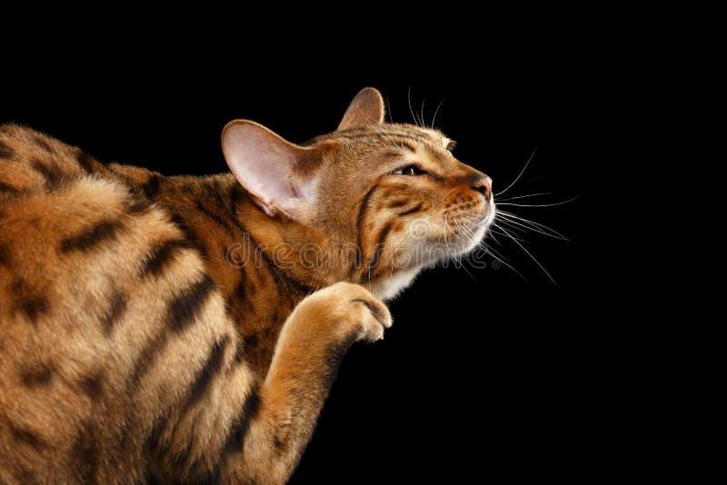 Kat die van close-up de Grappige Bengalen zijn gezicht, Zwarte Achtergrond krassen royalty-vrije stock afbeeldingen