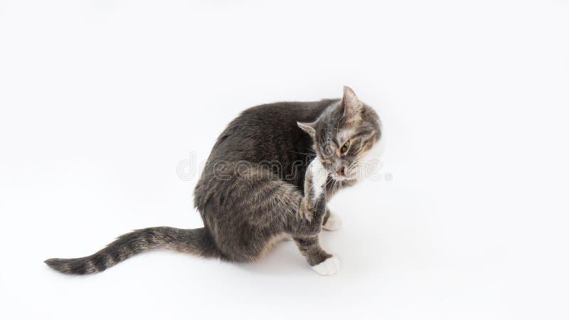 Kat die zijn hoofd krassen royalty-vrije stock afbeeldingen