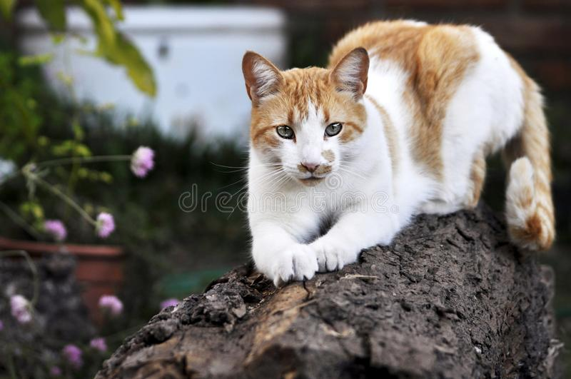 Kat die zijn spijkers op houten logfondodifuso scherpen stock afbeeldingen