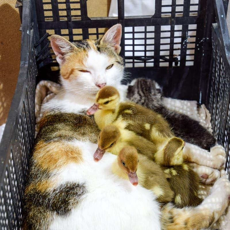 Kat in een mand met katje en het ontvangen van de eendjes van de muskuseend De kat bevordert moeder voor de eendjes royalty-vrije stock afbeeldingen