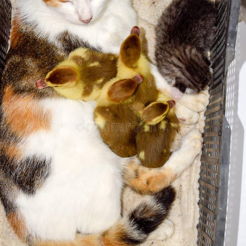 Kat in een mand met katje en het ontvangen van de eendjes van de muskuseend De kat bevordert moeder voor de eendjes royalty-vrije stock afbeelding