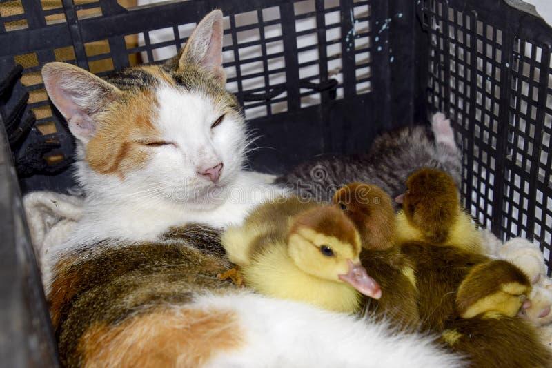 Kat in een mand met katje en het ontvangen van de eendjes van de muskuseend De kat bevordert moeder voor de eendjes stock afbeelding