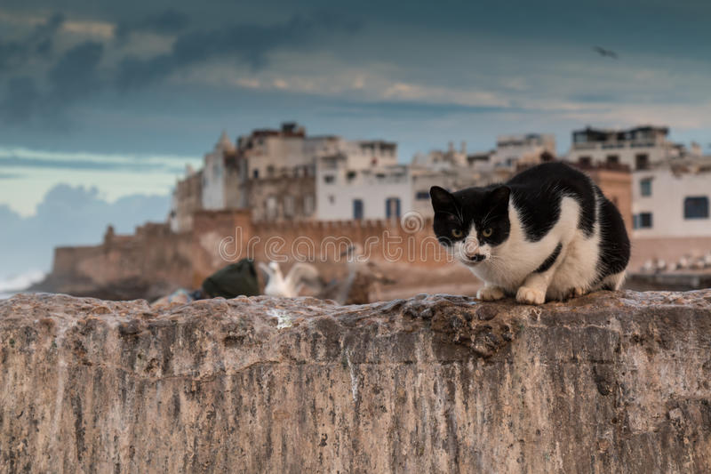 Kat en Essaouira, Marokko stock foto