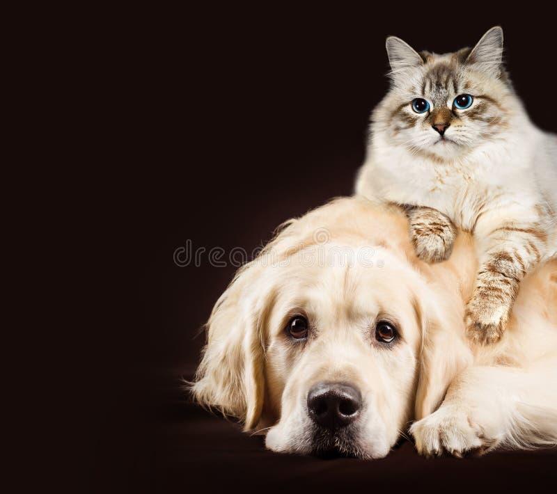 Kat en hond, Siberisch katje, golden retriever samen op donkere bruine achtergrond royalty-vrije stock afbeelding