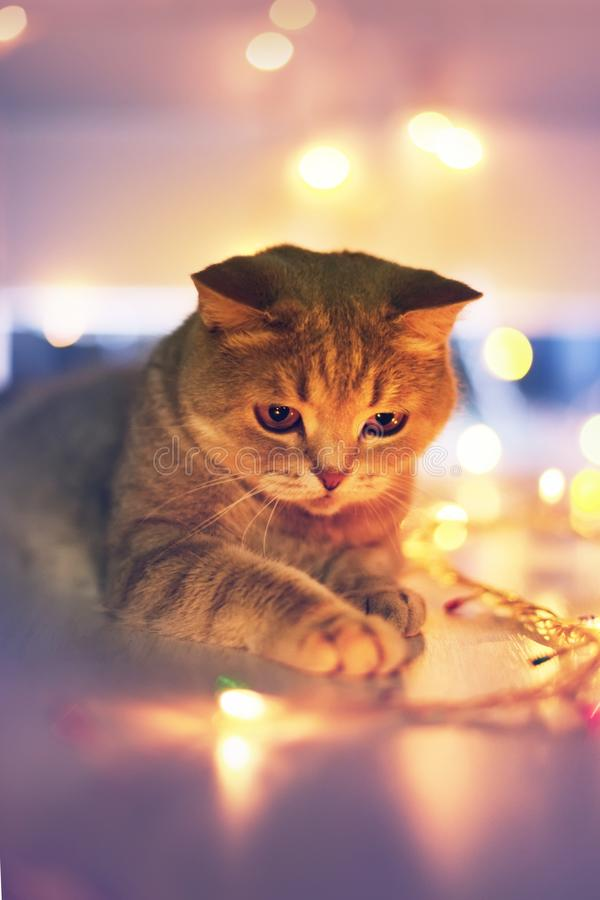 Kat en Kerstmislichten royalty-vrije stock foto's