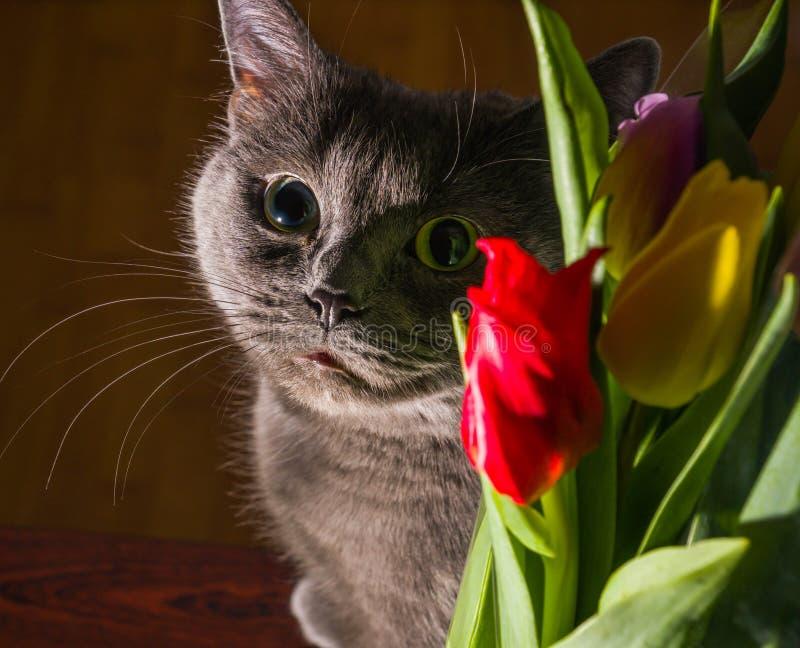 Kat en van het bloemenportret blauwe Russische het gelukglimlach van de tulpenviering royalty-vrije stock fotografie