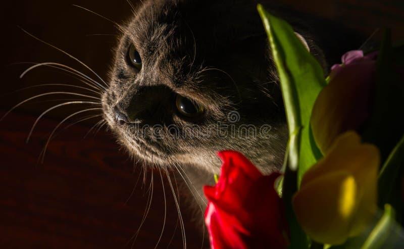Kat en van het bloemenportret blauwe Russische het gelukglimlach van de tulpenviering stock foto's