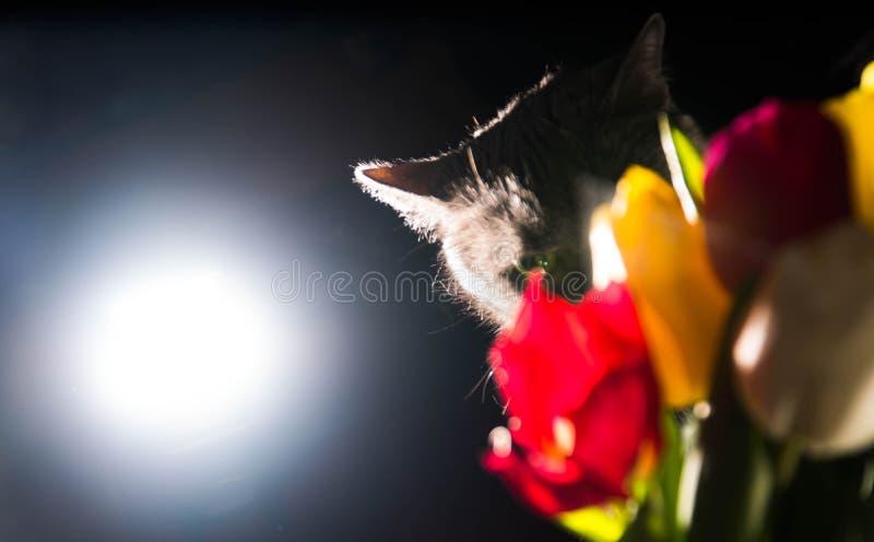 Kat en van het bloemenportret blauwe Russische het gelukglimlach van de tulpenviering stock afbeeldingen