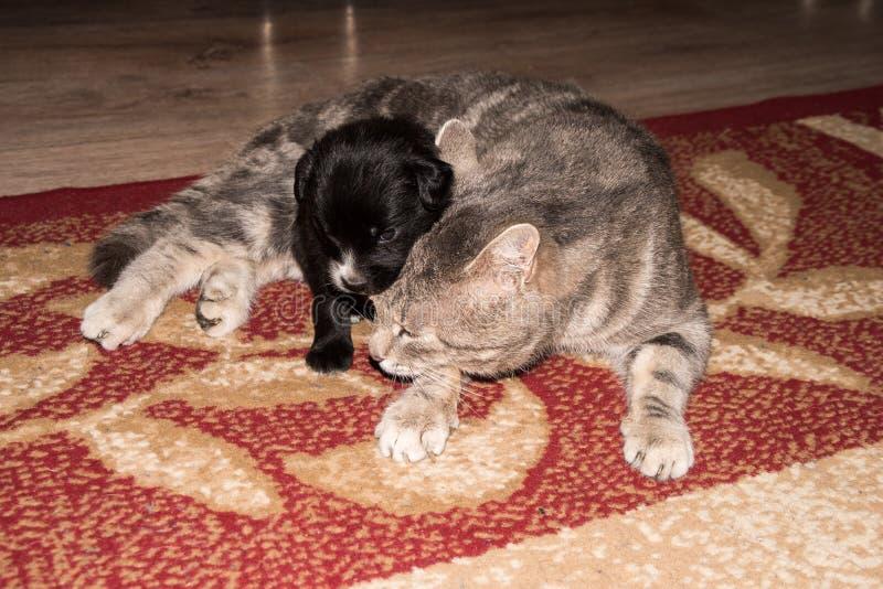 Kat, het rusten kat met dicht omhoog hond, leuke grappige kat royalty-vrije stock foto