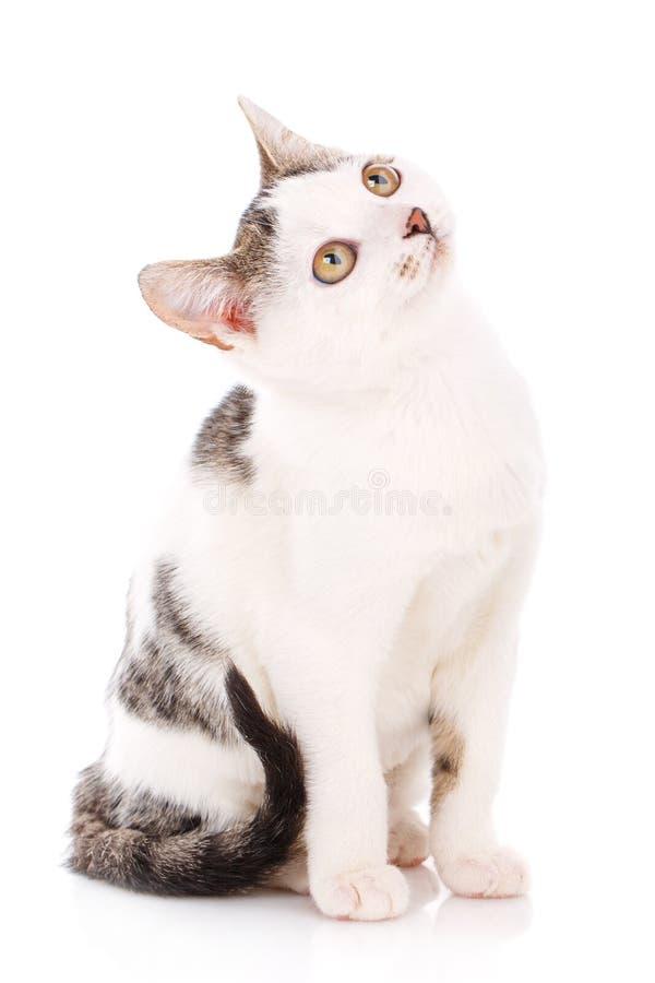 Kat, huisdier, en leuk Leuk concept - weinig grijs en wit katje royalty-vrije stock afbeelding