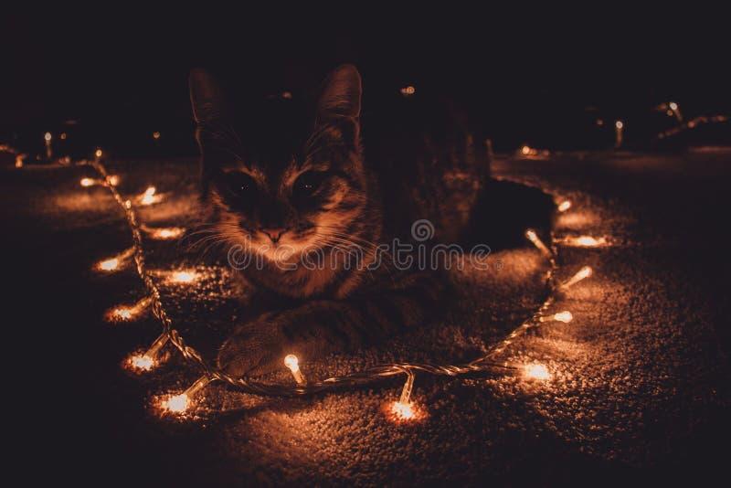Kat & Kerstmislichten royalty-vrije stock fotografie