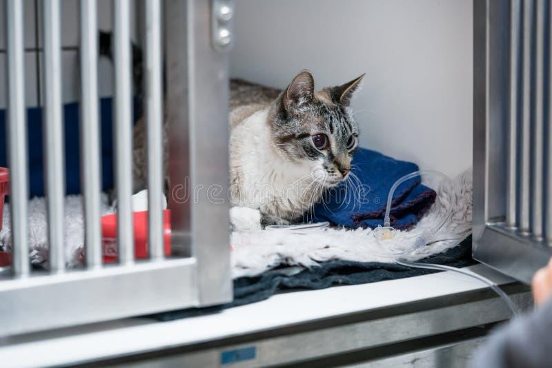 Kat in kooi van ICU in veterinaire dierlijke kliniek op de druppel royalty-vrije stock foto's