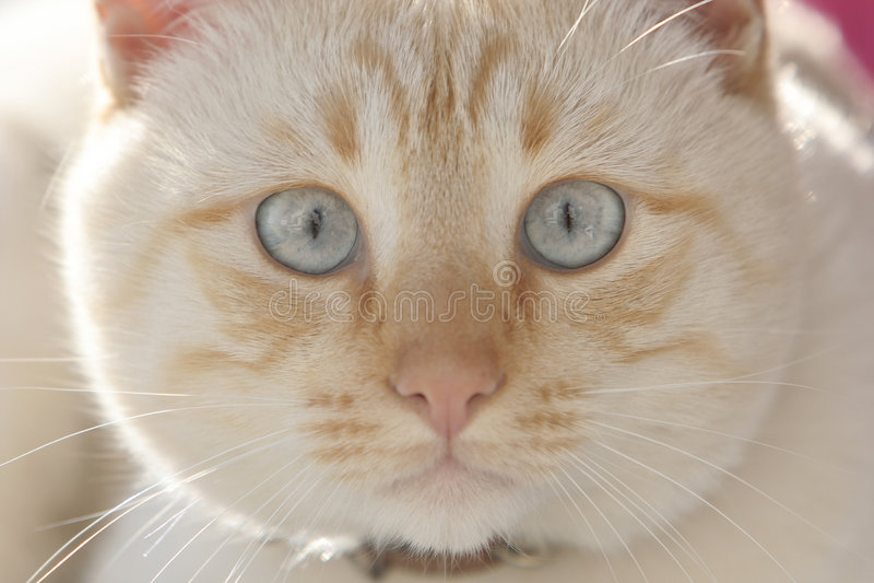 Kat met blauwe ogen royalty-vrije stock foto's
