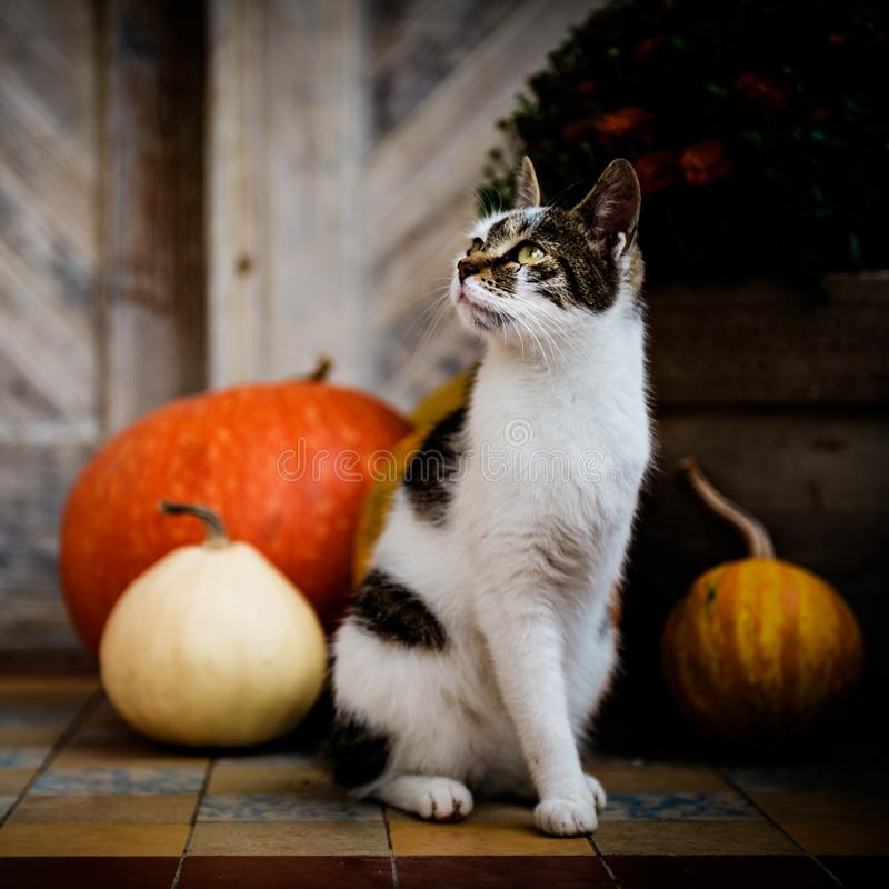 Kat met geamputeerde die beenzitting voor voordeur met pompoenen wordt verfraaid Front Porch voor Halloween wordt verfraaid dat stock afbeeldingen