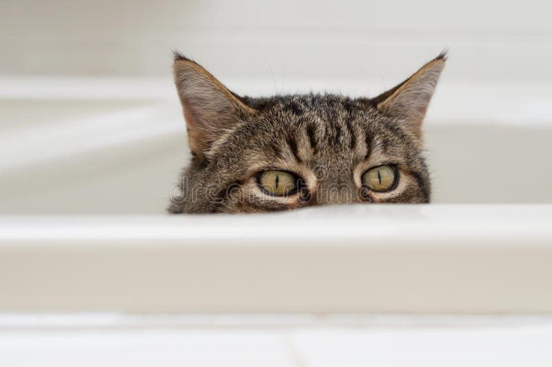 Kat met grappige uitdrukking die over de kant van een badkuip gluren stock afbeeldingen