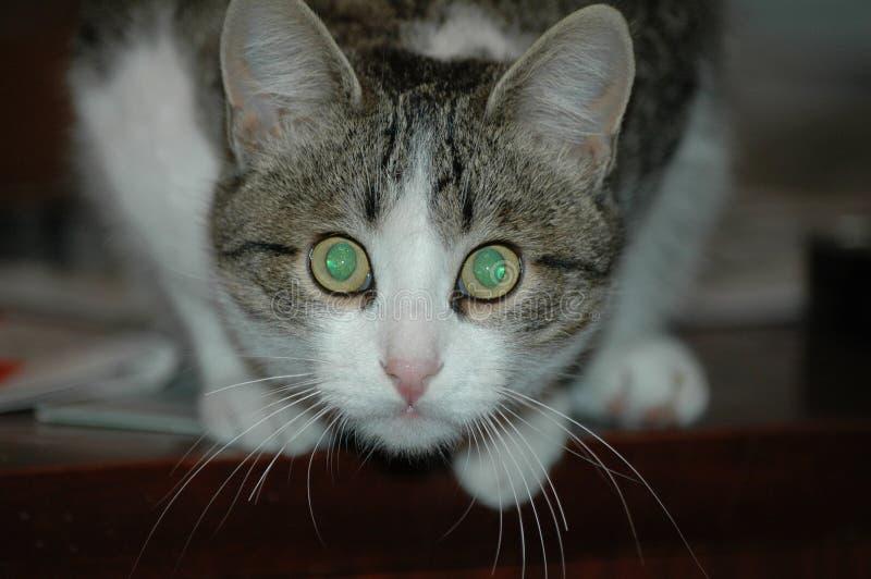 Kat met magische smaragdgroene ogen royalty-vrije stock afbeelding