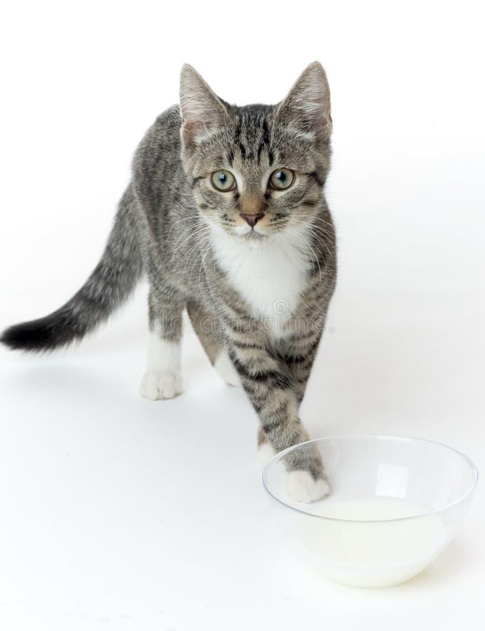 Kat met melk royalty-vrije stock afbeeldingen