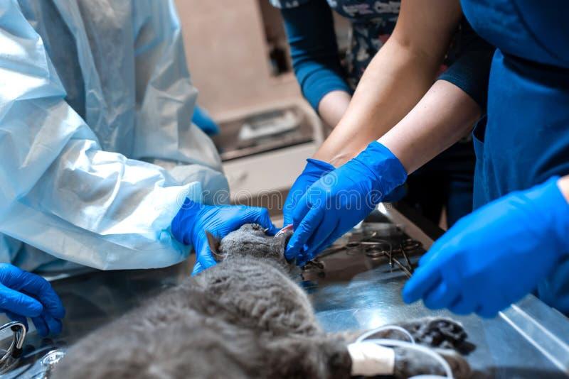 Kat onder algemene anesthesie op de werkende lijst Huisdierenchirurgie stock foto