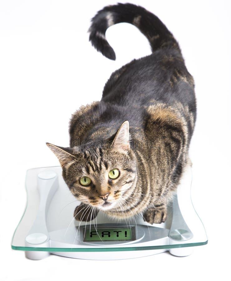 Kat op een schaal. royalty-vrije stock fotografie
