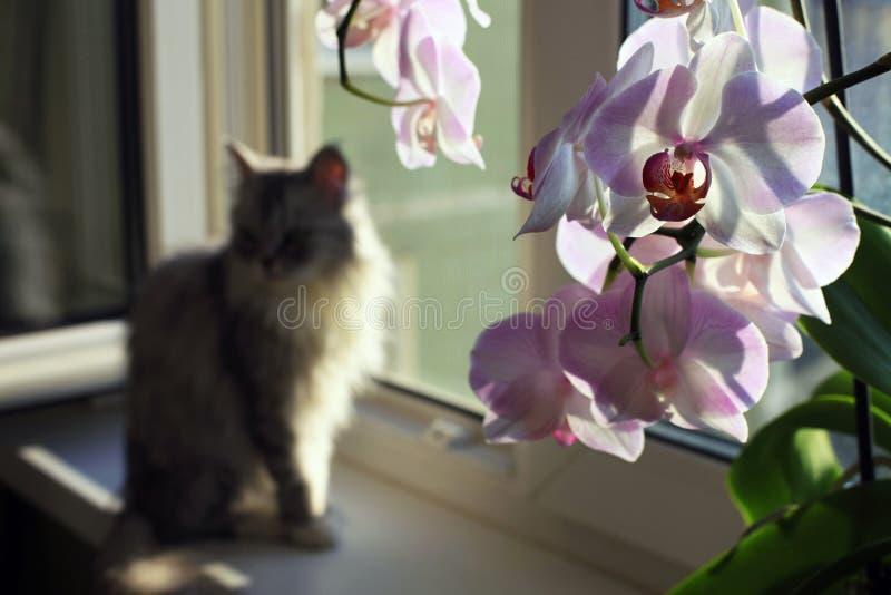 Kat op een venstervensterbank en een orchidee stock fotografie