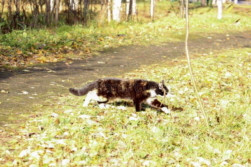 Kat op gras De herfstdag in de buurt van het dorp van Belomorye, Arkhangelsk-gebied stock fotografie