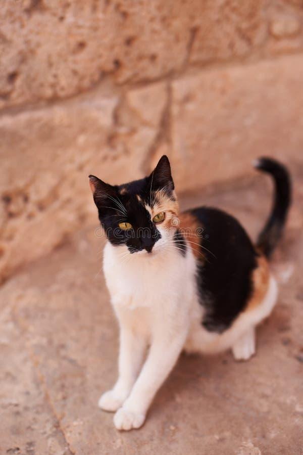 Kat op Largo di Torre Argentina, een vierkant in Rome, Italië Er zijn vele katten levend in oude Roman ruïnes stock afbeeldingen