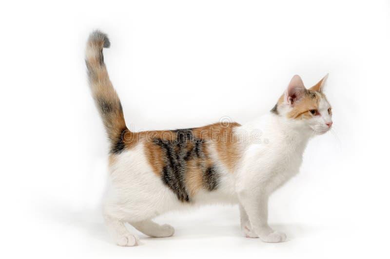 Kat op witte achtergrond stock foto's