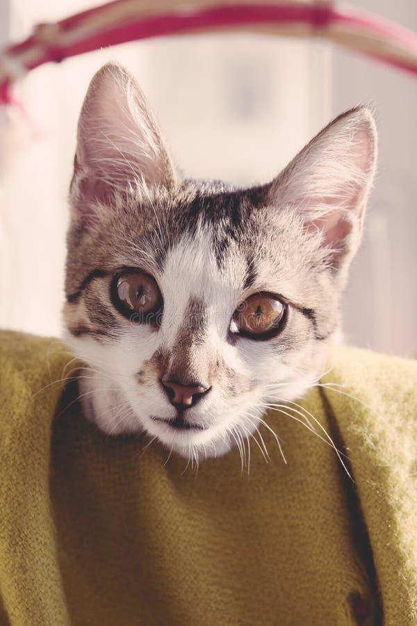 Kat portrain in een europeean wit gezicht van mand bruin ogen stock foto