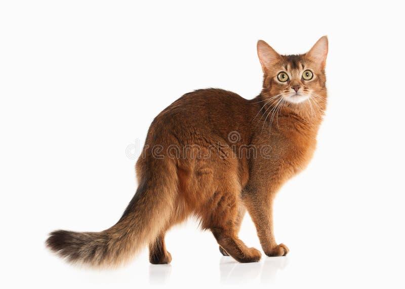 Kat Somalische katten blozende kleur op witte bakcground royalty-vrije stock fotografie
