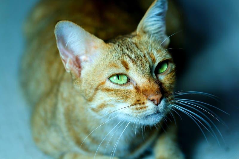 Kat, Thaise kat, nadruk op oog stock foto
