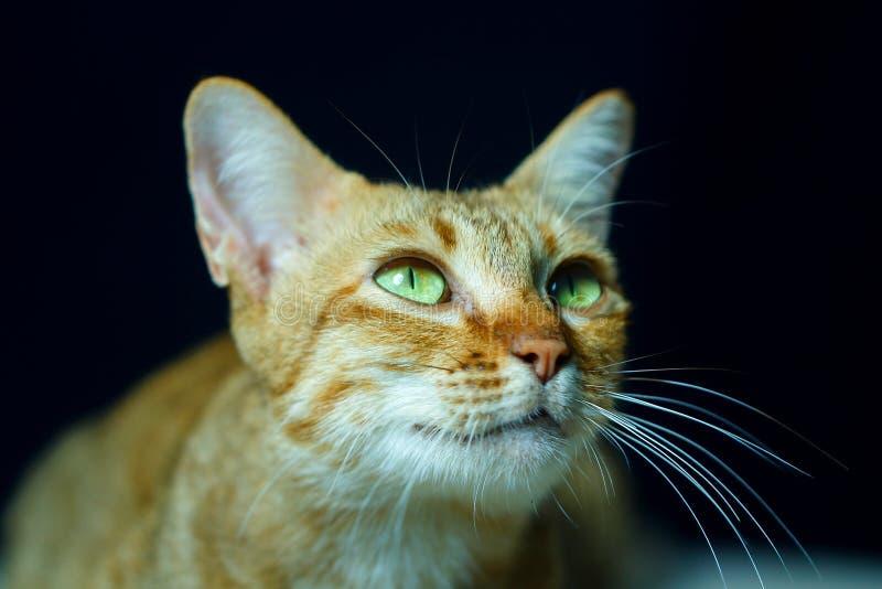 Kat, Thaise kat, nadruk op oog stock afbeelding