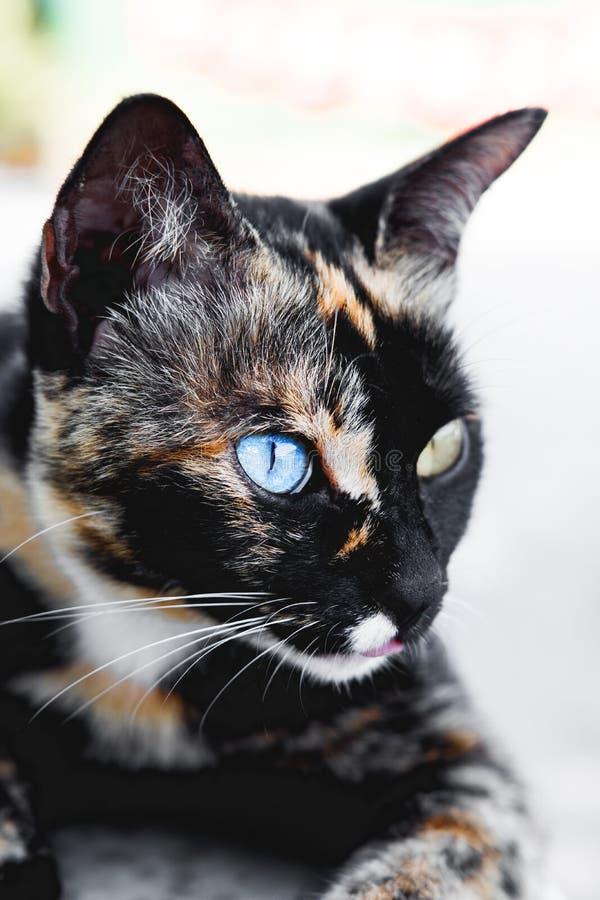Kat van close-up de oneven ogen, blauw en geel royalty-vrije stock fotografie