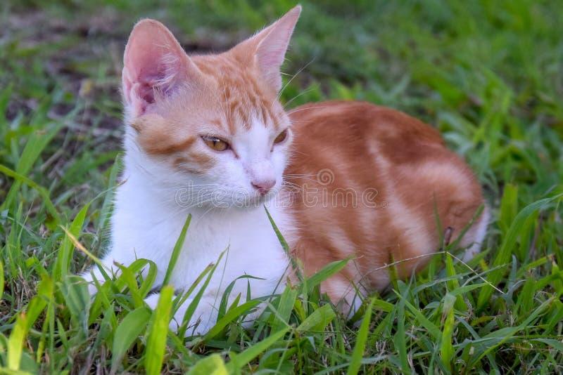 Kat van de baby de rode en witte gestreepte kat stock foto's