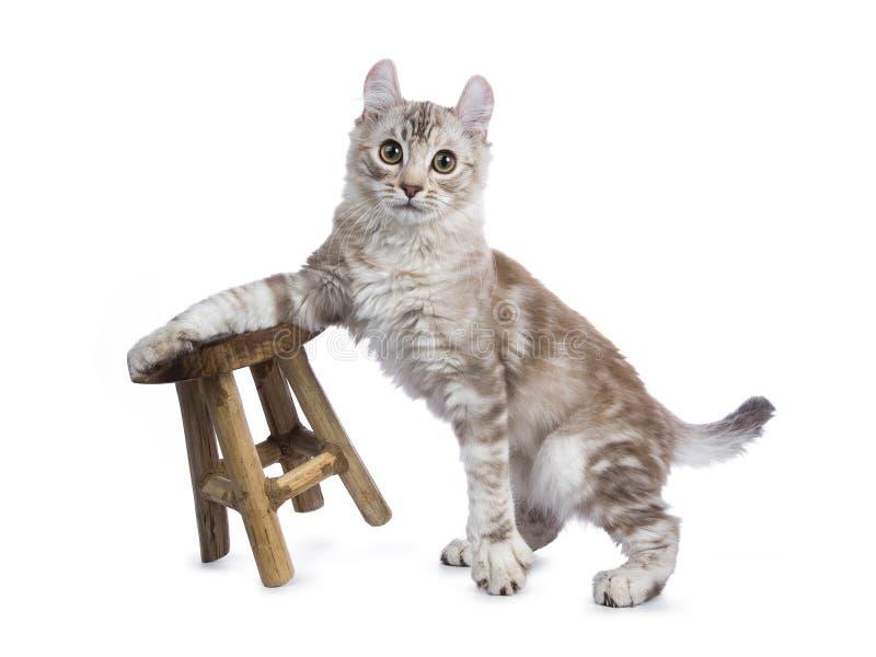 Kat van de de gestreepte kat Amerikaanse krul van chocolade de zilveren tortie stock afbeelding