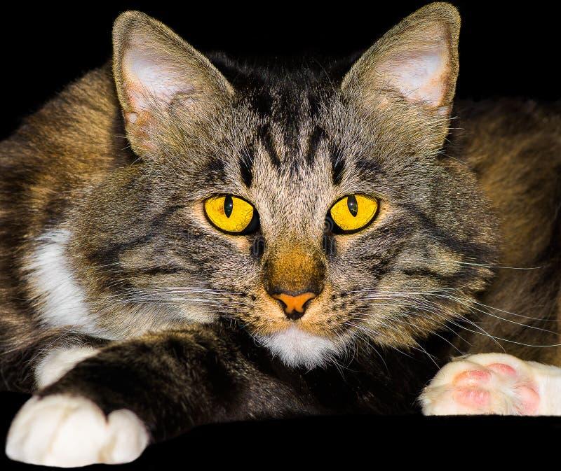 Kat van het de Mengelingsras van de close-up de Amerikaanse Bobtail royalty-vrije stock foto