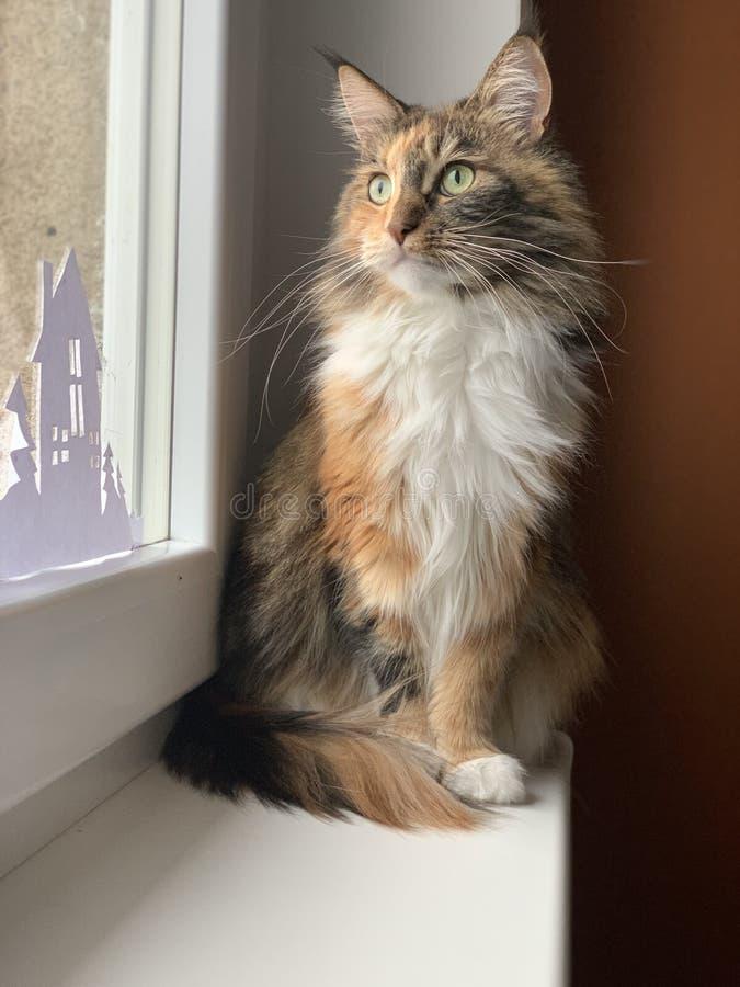 Kat van het venster de bruine Maine Coon van het kattenhuisdier royalty-vrije stock afbeeldingen