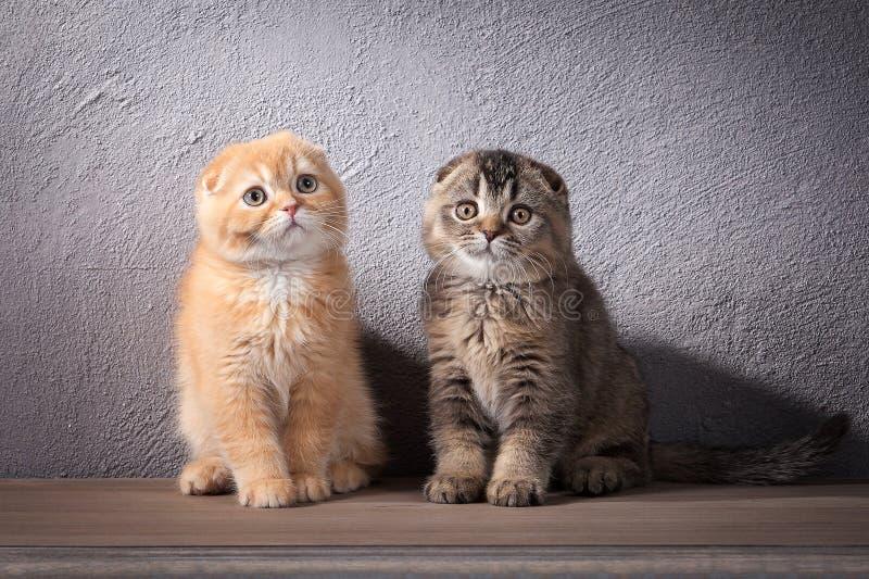 Kat Verscheidene Schotse vouwenkatjes op houten lijst en geweven royalty-vrije stock foto